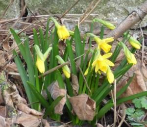 daffodils2 sm11.3.18